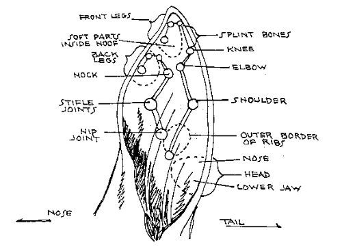 Horse anatomy pictures think like a horse rick gore horsemanship if you click on the picture of horse ear massage it will open a pdf file on horse massage ccuart Gallery