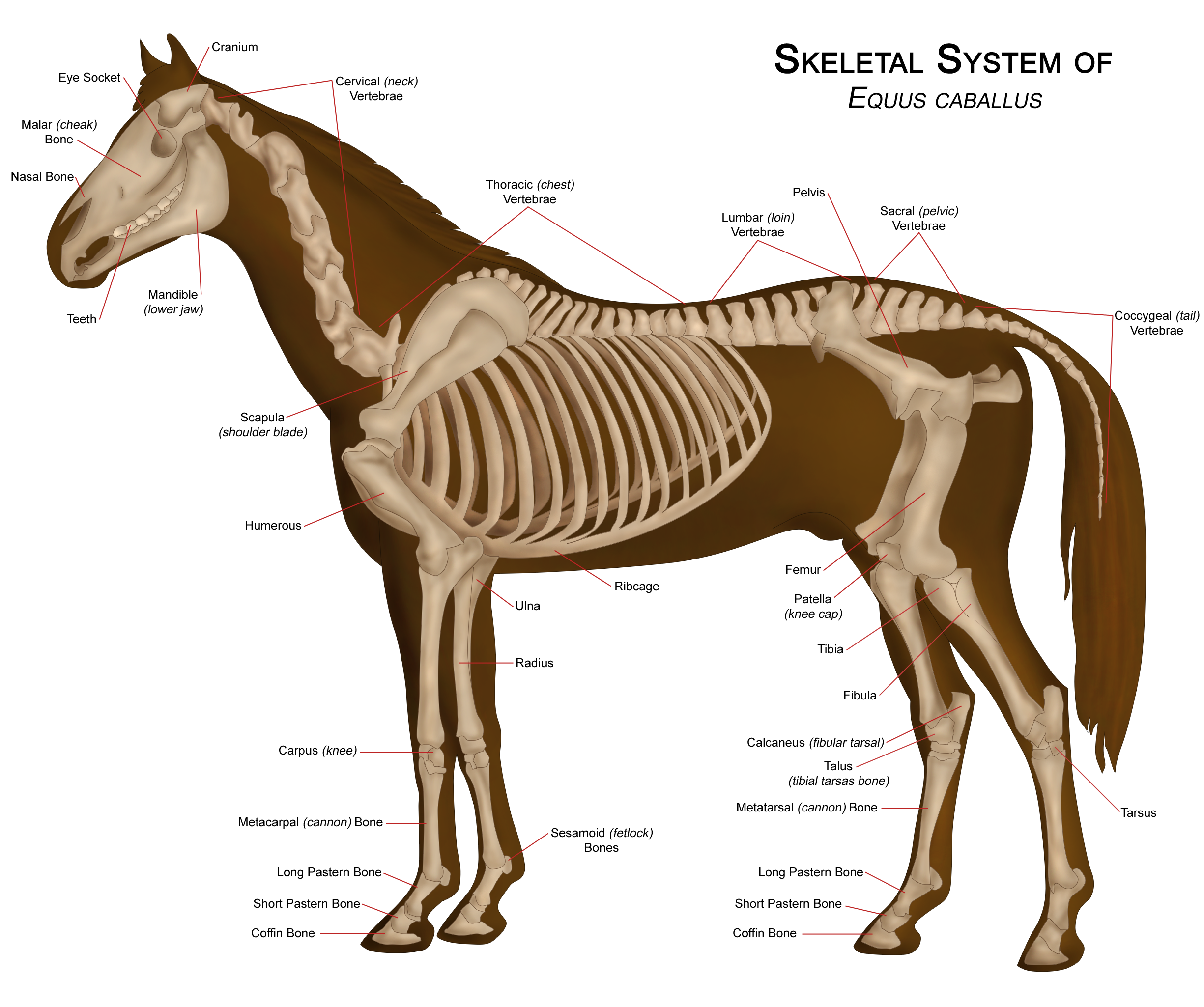 Horse Anatomy Pictures: