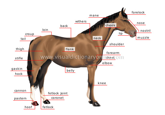 Horse anatomy pictures think like a horse rick gore horsemanship horse anatomy pictures ccuart Images
