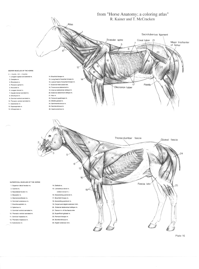 Worksheets Horse Anatomy Worksheet horse anatomy pictures think like a rick gore horsemanship muscle move to top of page